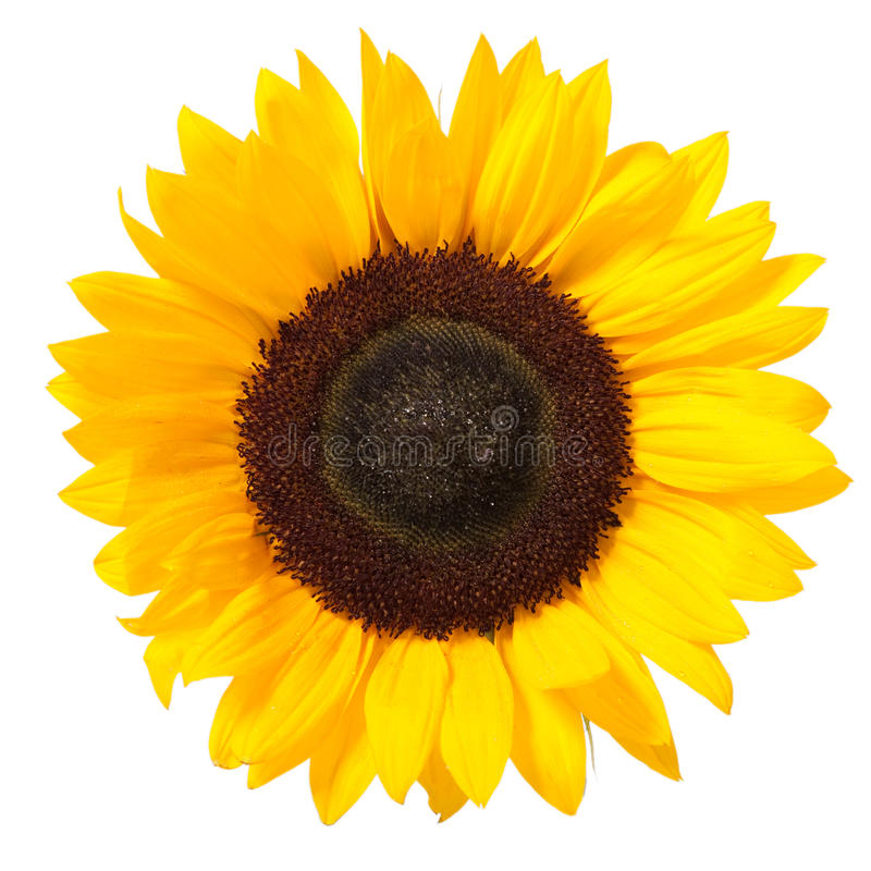Free Sunflower Stock Photography - 11947962
