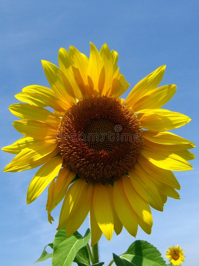 The Sunflower. A sunflower stands beautifully with all its dazzling colors in the bright sunshine & clear blue sky after an exaustive rainy season better known stock images