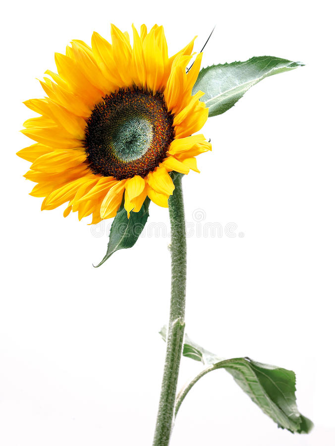 Download Sunflower stock photo. Image of garden, blooming, stem - 13478280
