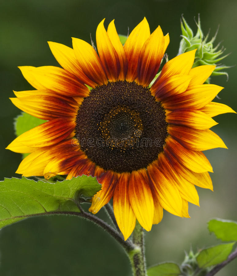 Download Sunflower Stock Photos - Image: 13553483