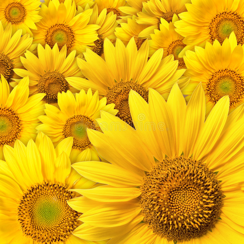 Free Sunflower Royalty Free Stock Photo - 1383165