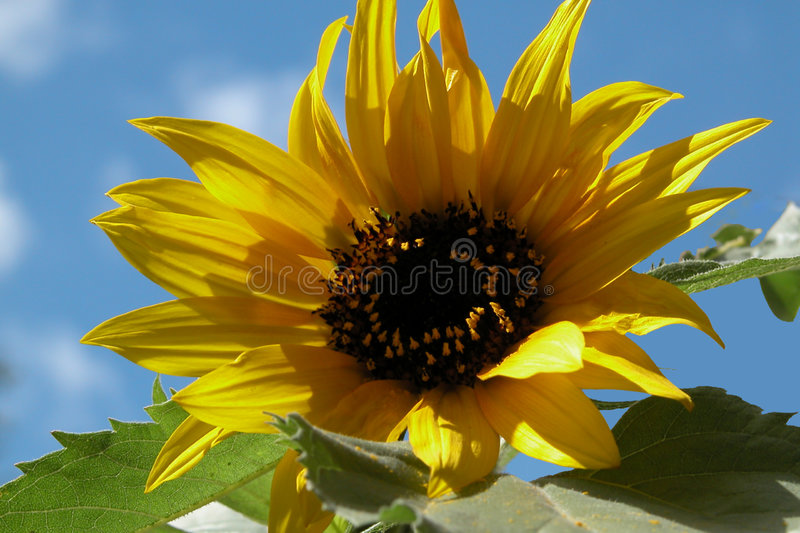 Download Sunflower stock image. Image of leaves, flower, leaf, seeds - 15757