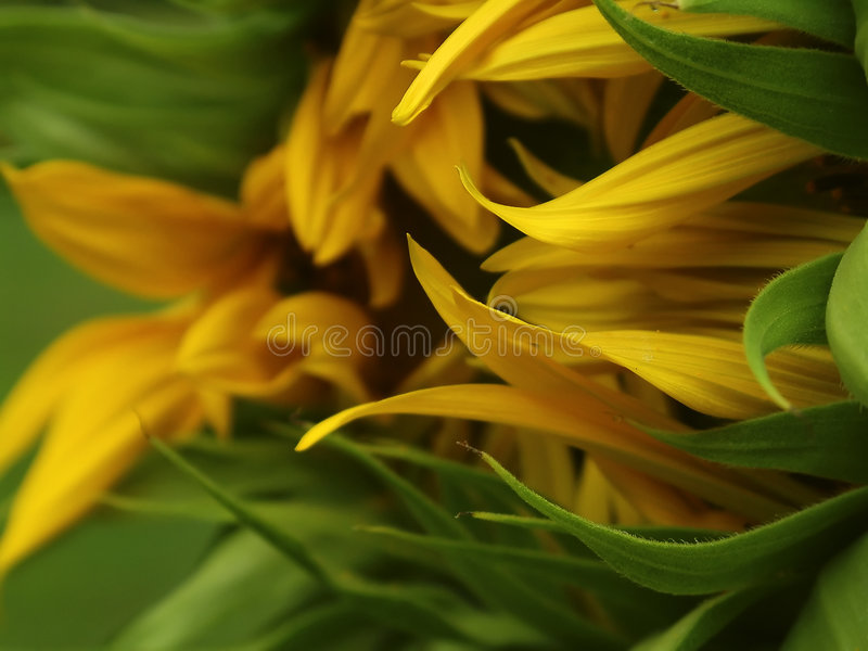 Download Sunflower stock photo. Image of gold, botanical, annuus - 16414