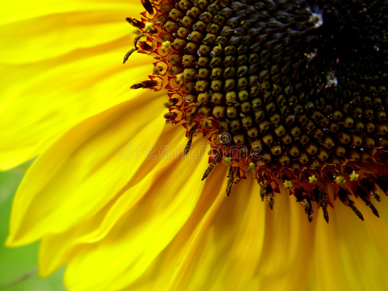 Download Sunflower stock photo. Image of flowers, nature, garden - 16578