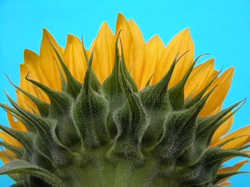 Download Sunflower stock image. Image of plant, sunflower, delicate - 166727