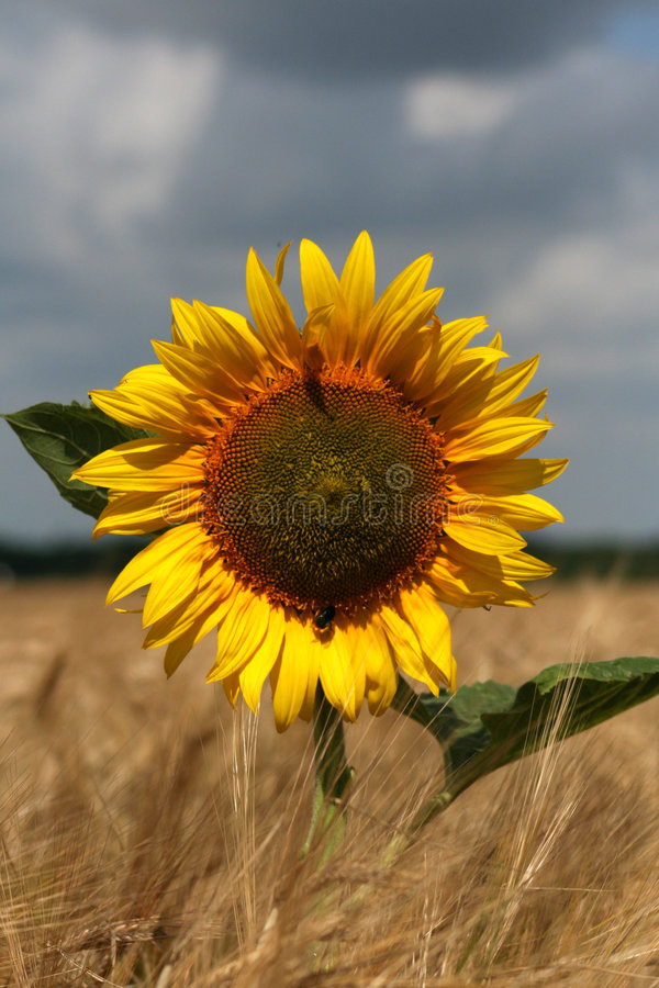 Download Sunflower Royalty Free Stock Image - Image: 169096
