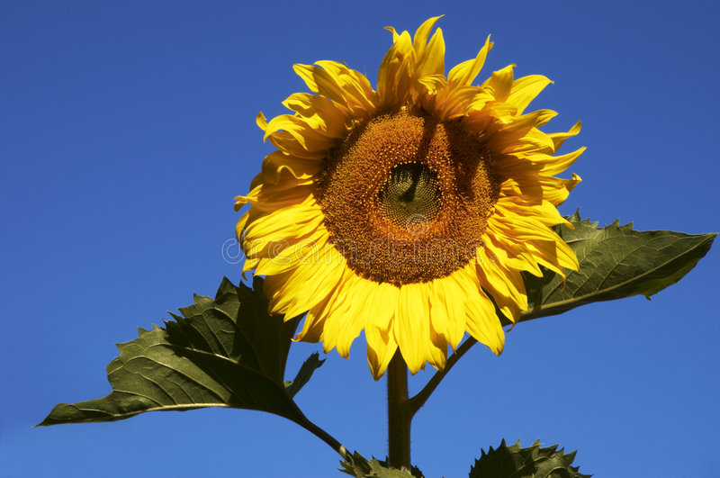Download The sunflower stock image. Image of color, play, handsome - 169883