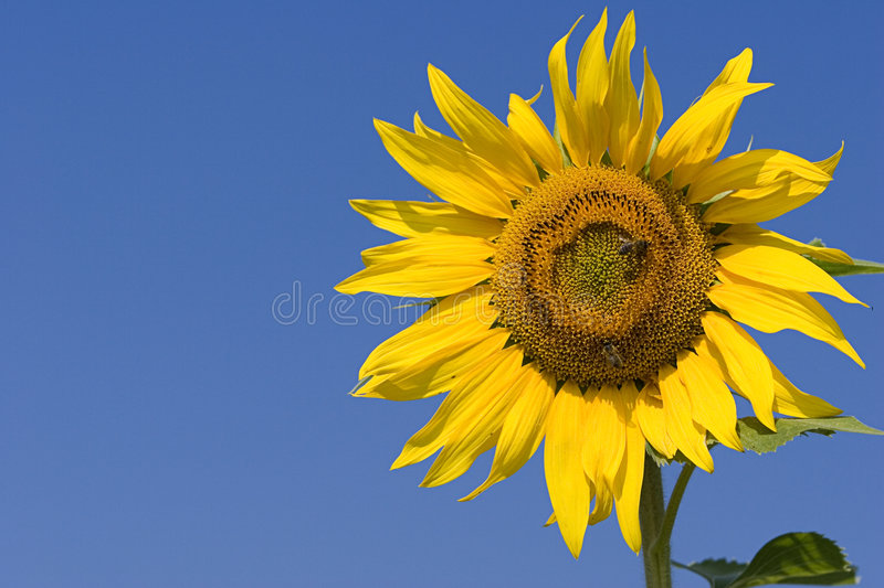 Download Sunflower stock photo. Image of photo, leaf, plants, seeds - 172738
