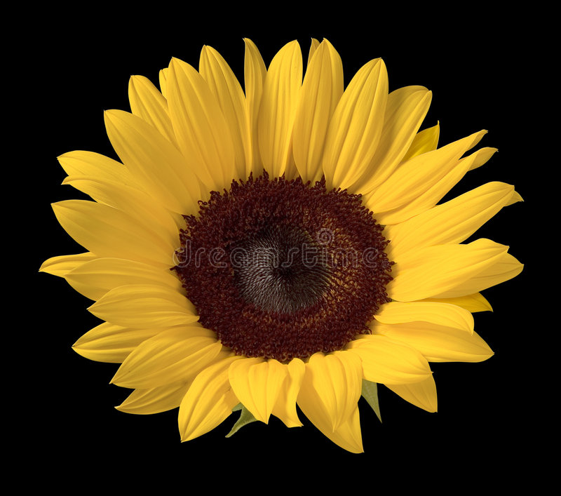 Sunflower. Isolated against a black background royalty free stock photography