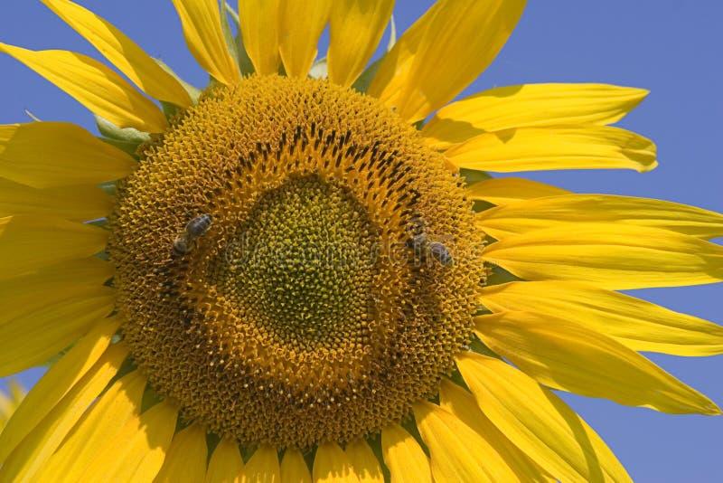 Download Sunflower stock image. Image of seeds, flight, bees, stripe - 176683