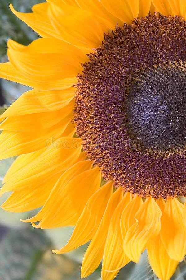 Download Sunflower stock image. Image of shoot, inflorescence, cluster - 18431