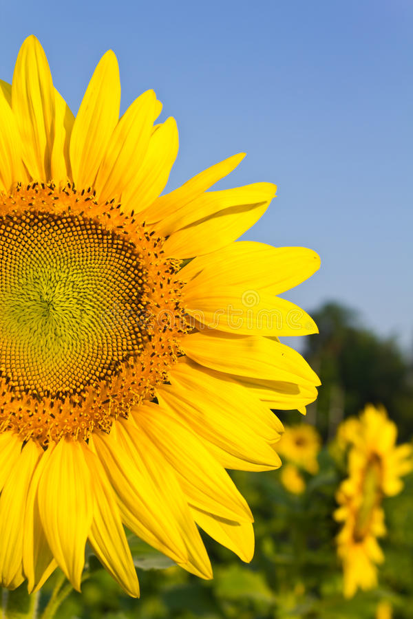 Sunflower. At the field at the sunrise stock images