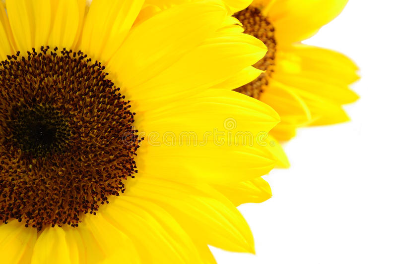 Sunflower. Close up of sunflower on white background stock images