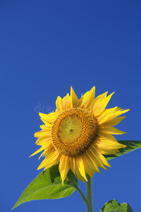 Download Sunflower stock photo. Image of blue, nature, life, science - 19235740