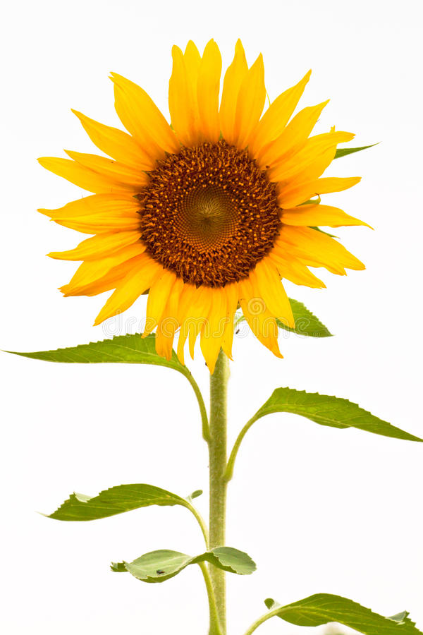 Free Sunflower Stock Photo - 19562530