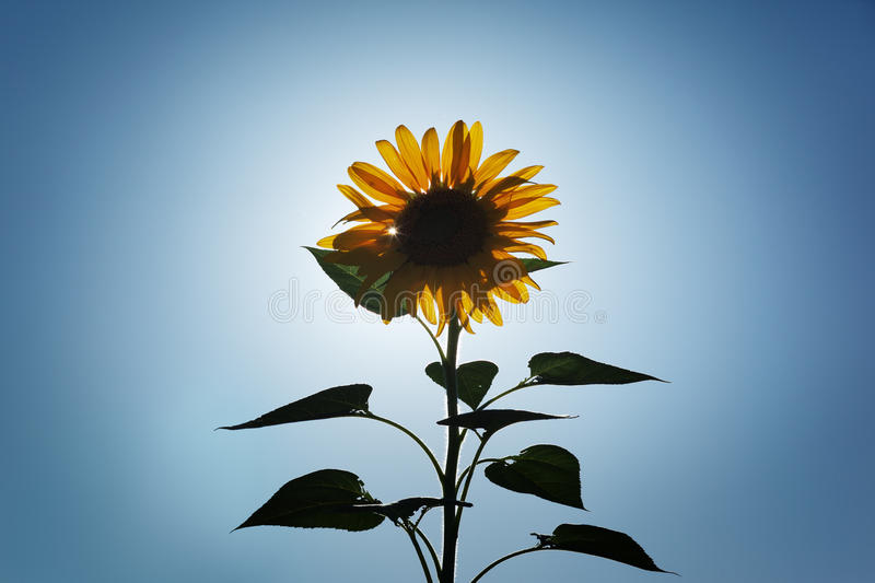 Download Sunflower stock image. Image of backlit, growth, glow - 19798489