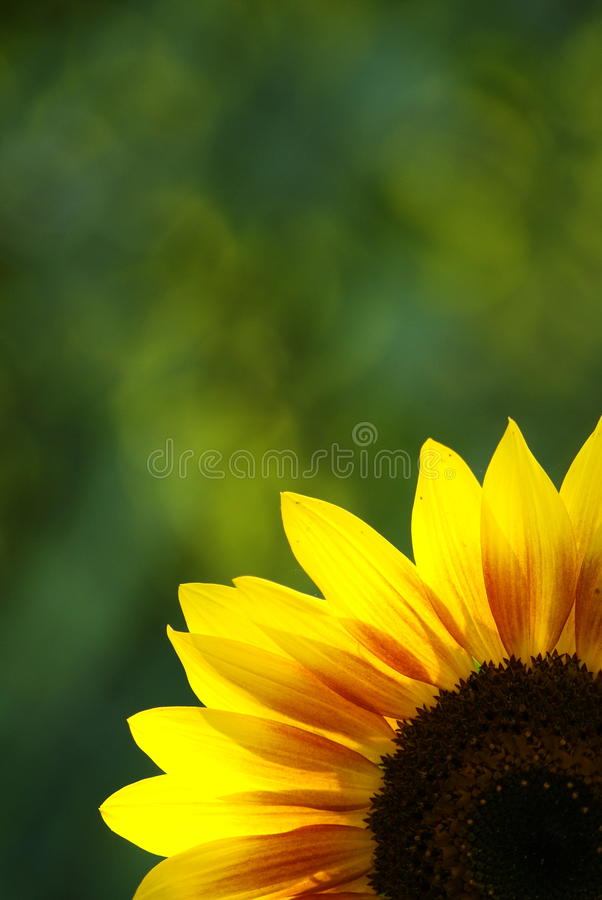 Free Sunflower-2 Royalty Free Stock Photography - 15530037