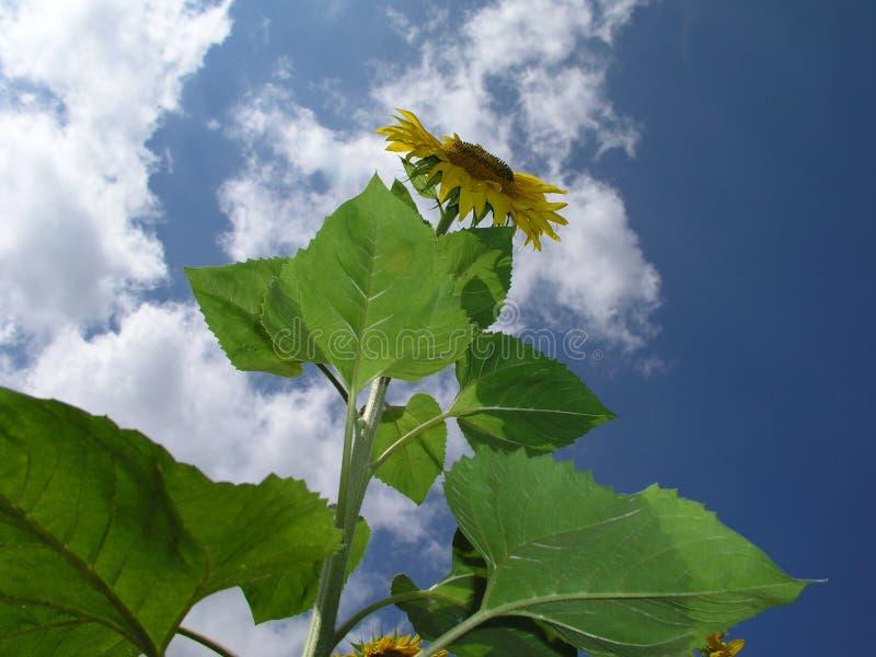 Sunflower 2 Stock Photography