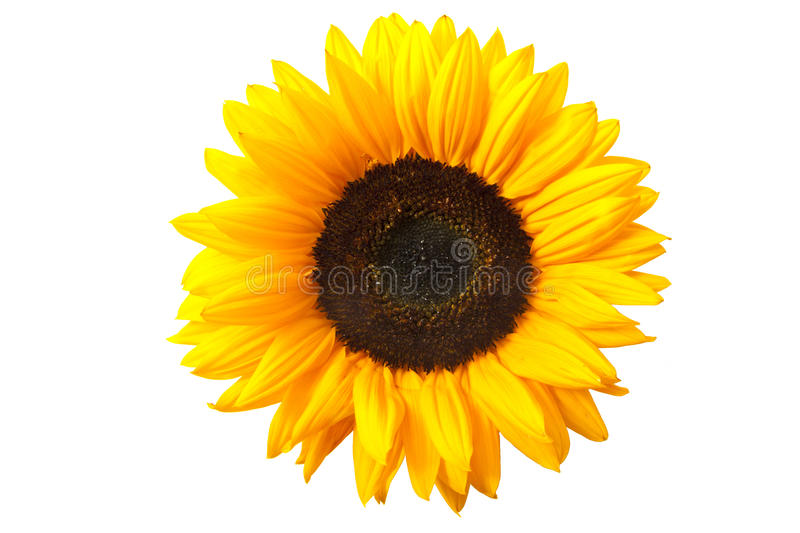 Download Sunflower stock photo. Image of multi, flowers, garden - 20157000