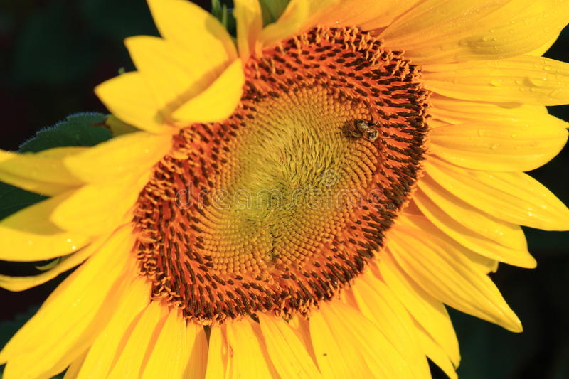 Download Sunflower stock image. Image of golden, seasonal, beautiful - 20245329