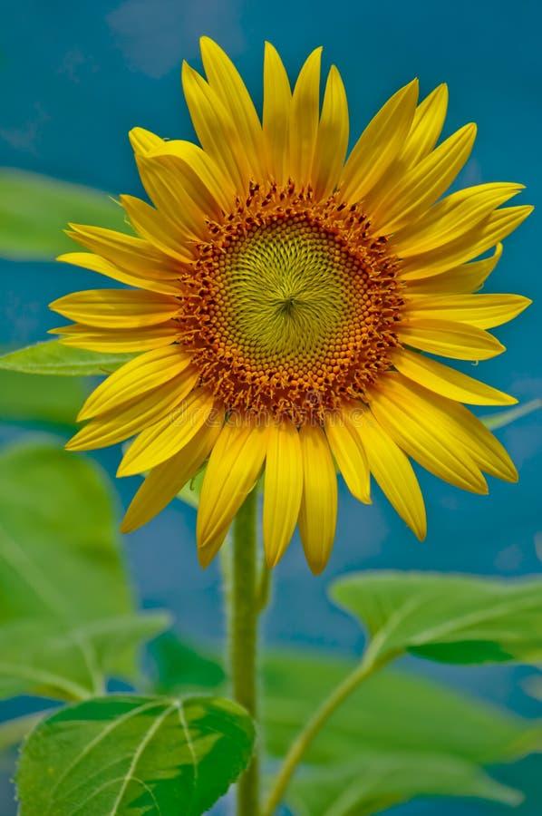 Download Sunflower stock photo. Image of sunflower, stamen, garden - 20256408