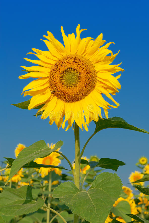 Free Sunflower Stock Image - 20310451