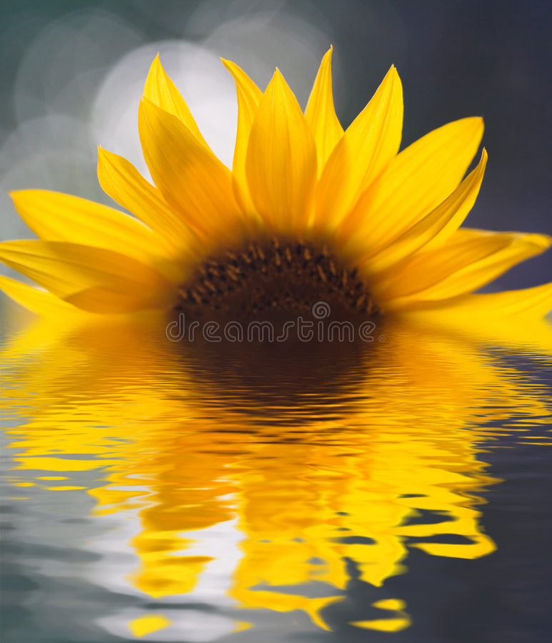 Free Sunflower Stock Image - 2108601