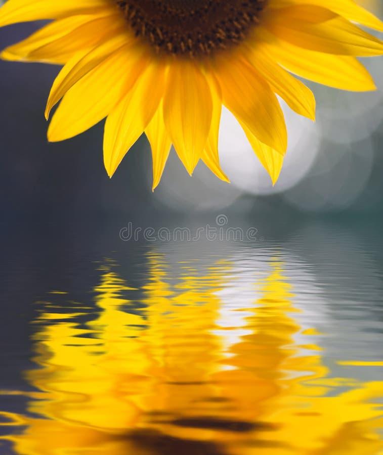 Free Sunflower Stock Photos - 2108603