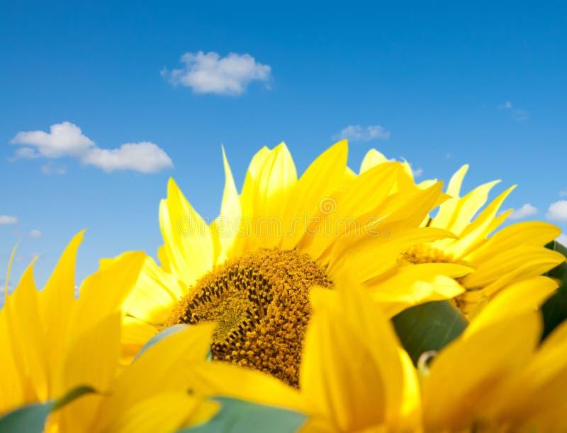 Download Sunflower stock image. Image of gardening, close, pattern - 21337863