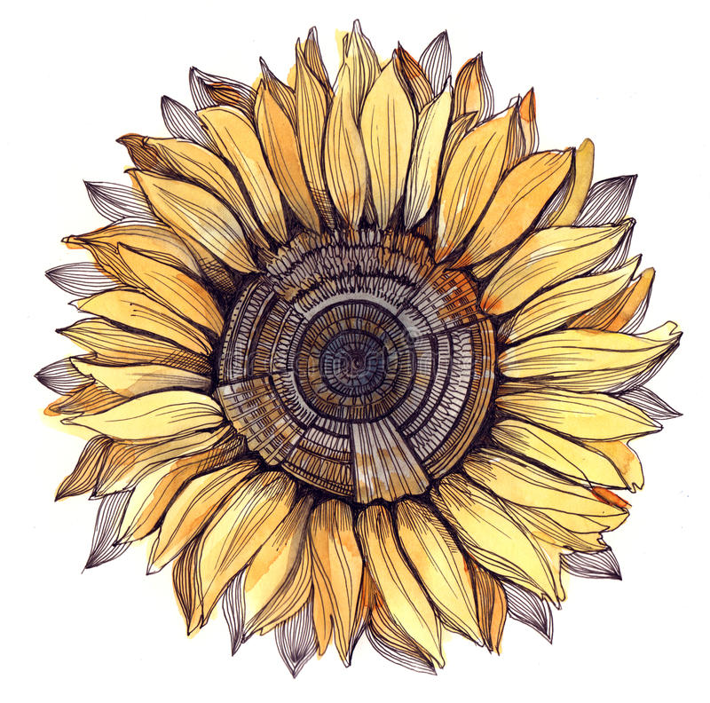Download Sunflower stock illustration. Image of bright, image - 21570064