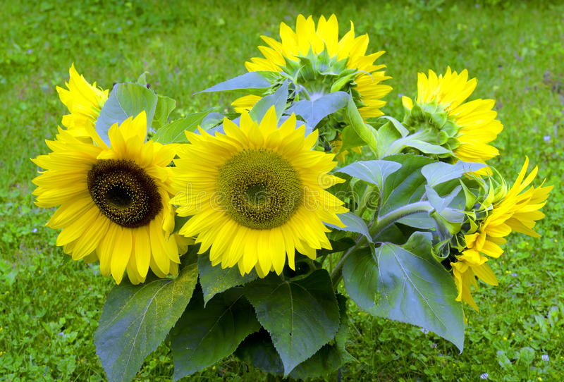 Download Sunflower stock photo. Image of grass, nature, green - 21753512