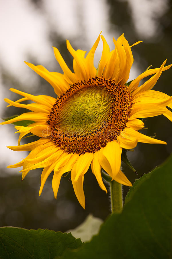 Download Sunflower stock photo. Image of background, farm, formal - 22063584