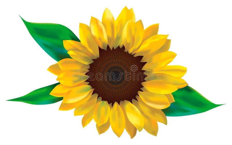 Download Sunflower stock illustration. Illustration of plants, foliage - 2419935