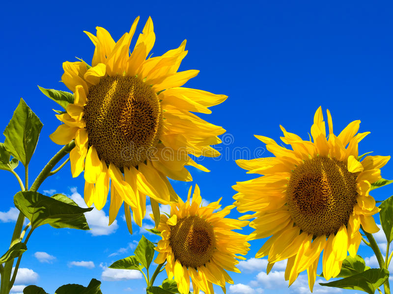 Download Sunflower stock photo. Image of outside, flowers, pair - 25465518