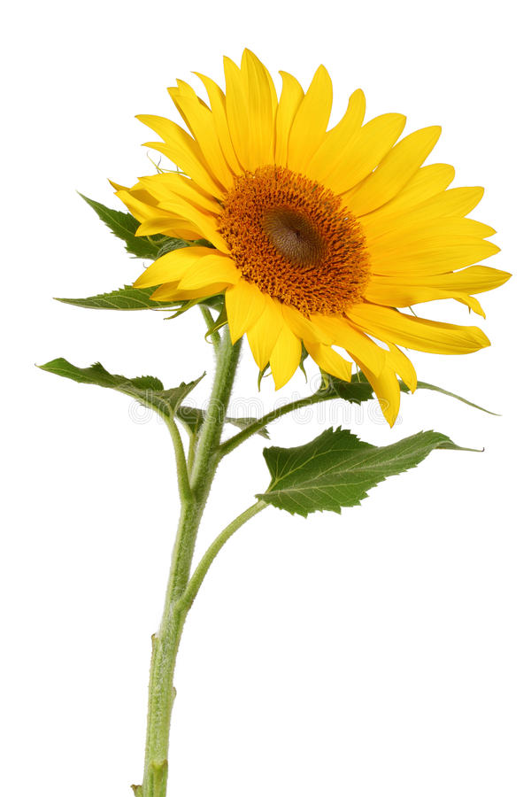 Download Sunflower stock image. Image of blossom, macro, bright - 25543655