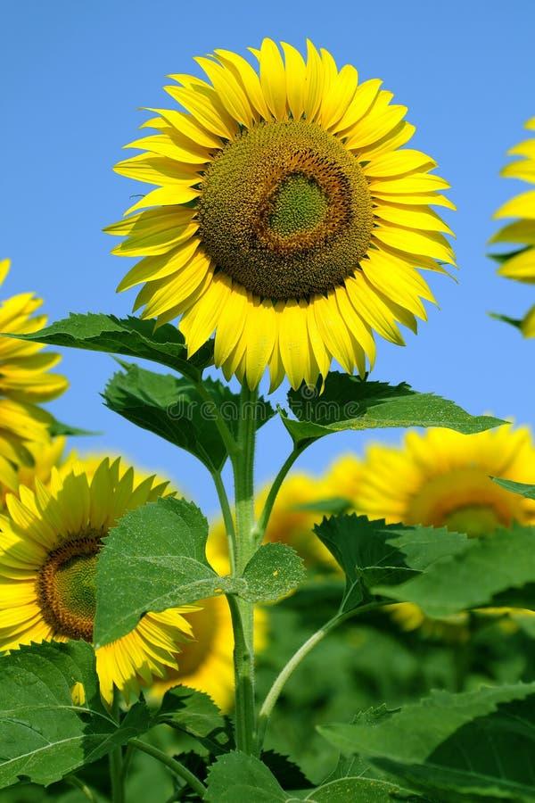 Free Sunflower Stock Photo - 25552210