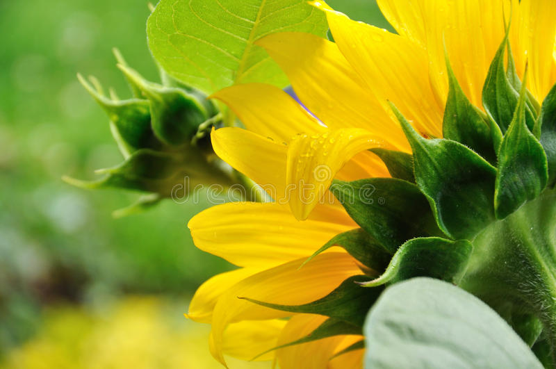 Download Sunflower stock image. Image of color, happy, summer - 25739111
