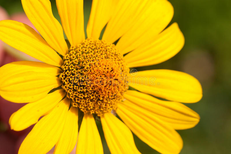 Download Sunflower stock photo. Image of blooming, green, leaf - 25831296