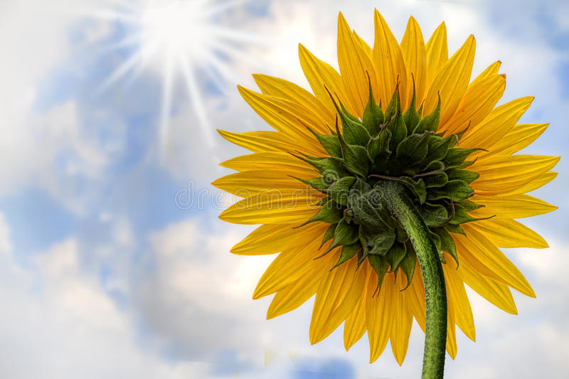 Download Sunflower Stock Photography - Image: 27450132