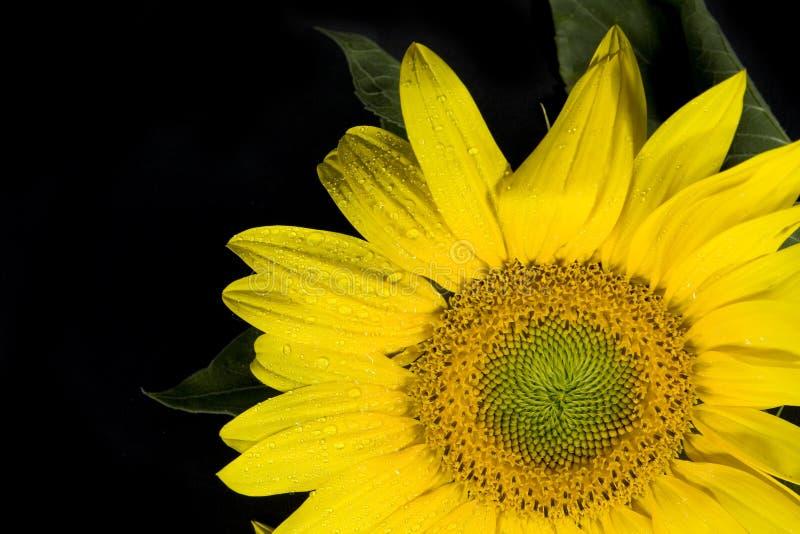 Sunflower. Dewy sunflower on black background royalty free stock image