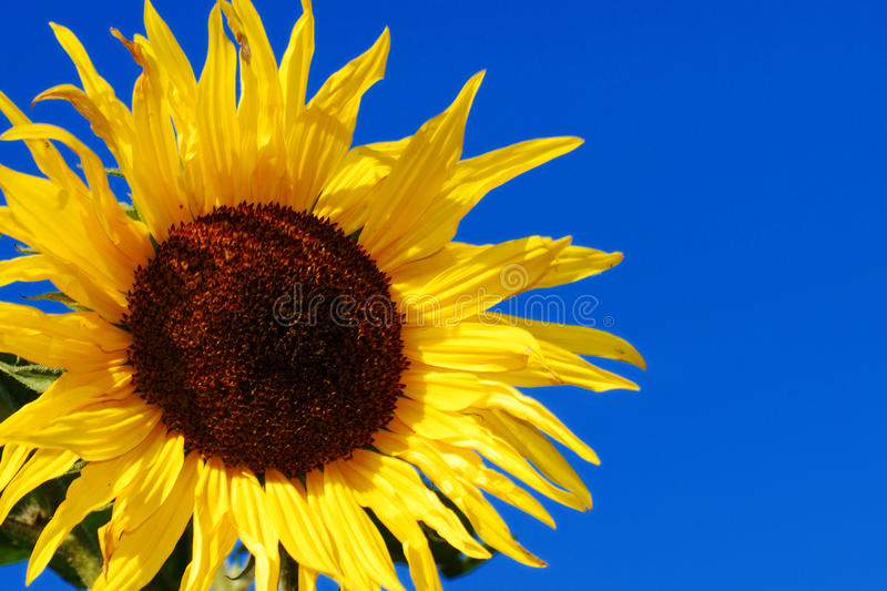 Download Sunflower stock photo. Image of rural, blue, close, outdoors - 27825044