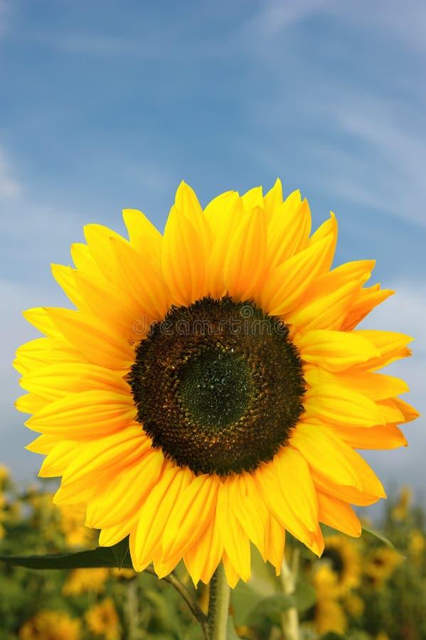 Download Sunflower stock image. Image of nature, beauty, beautiful - 28882077