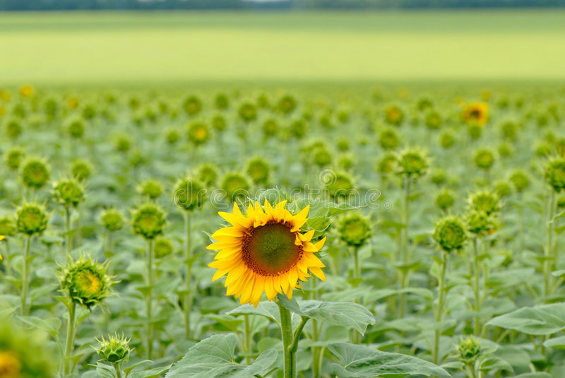 Download Sunflower stock photo. Image of botanical, close, blooms - 2890480