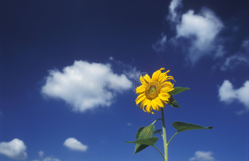 Sunflower. And blue sky royalty free stock image