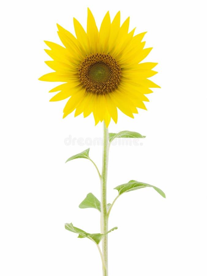 Download Sunflower stock image. Image of flora, petal, close, beautiful - 3239581