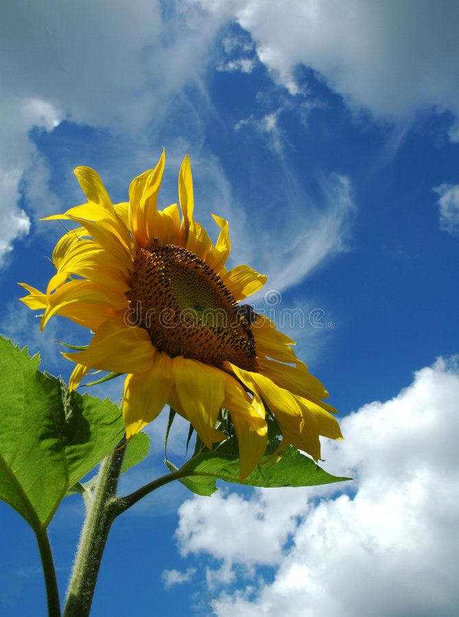 The sunflower. My garden. August 2005. Nikon D70 royalty free stock photos