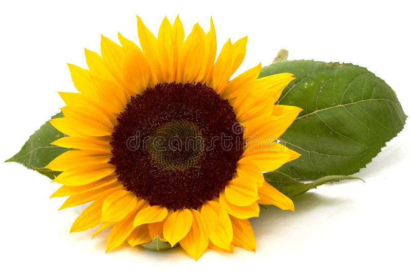 Download Sunflower Stock Image - Image: 344311