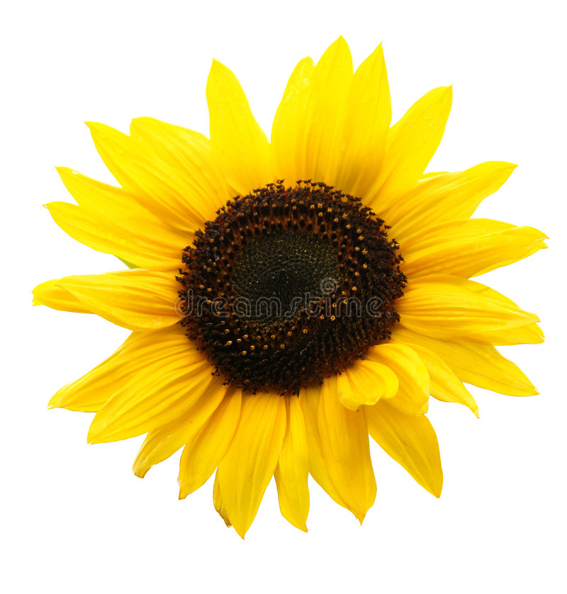Download Sunflower stock image. Image of detail, summer, yellow - 3923839