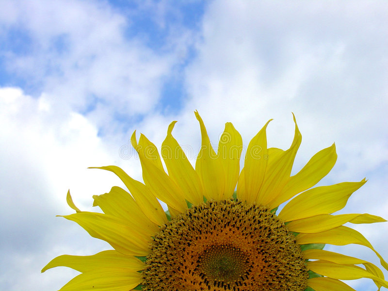 Download Sunflower 4 stock image. Image of mild, nature, flower - 1033709