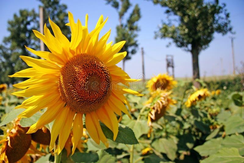 Sunflower. Plantation composing a natural summer landscape stock photo